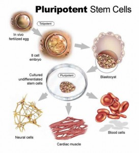 Pluripotent stem cells 273x300 Stem Cell Therapy   Natural Medicine Coming of Age   Adult Stem Cell Therpay is the Future of Medicine Today