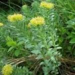 Rhodiola plant1 150x150 Rhodiola Rosea