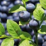 bilberry 150x150 Bilberry