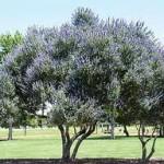 chaste tree 150x150 Chaste Tree (Vitex agnus castus)
