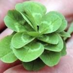 clover bud 150x150 Clover (Trifolium) or trefoil