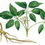 ginseng root image 150x150 Ginseng