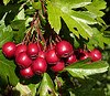 hawthorn berries Anti Stress Herbs: Staying Calm and in Natural Balance