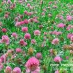 red clover 150x150 Clover (Trifolium) or trefoil