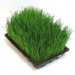 wheatgrass tray 150x150 Wheatgrass