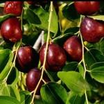 jujube fruit 150x150 Jujube  Ziziphus zizyphus