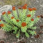 rhodiola rosea 150x150 Natural Sex, Love and Sensuality Secrets from Around the World