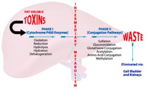 "detox graphic dr ramsey 300x183 Detoxification – A Way to Be ""Proactive"" Rather Than ""Reactive"""
