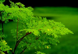 Moringa tree 300x209 Superfood Startup Links Investors, Consumers and African Communities
